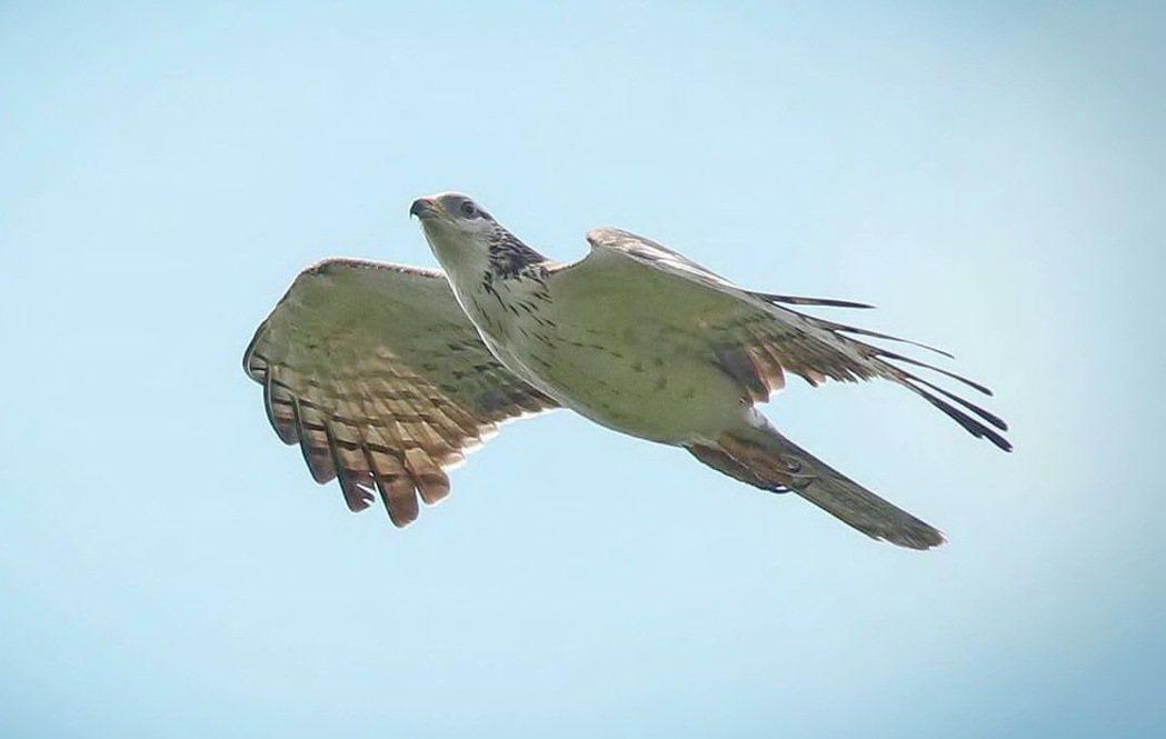 在台灣記錄不多的小型猛禽黑冠鵑隼,昨天現身墾丁天空,鷹迷趕緊拍下牠的美麗身影。記...