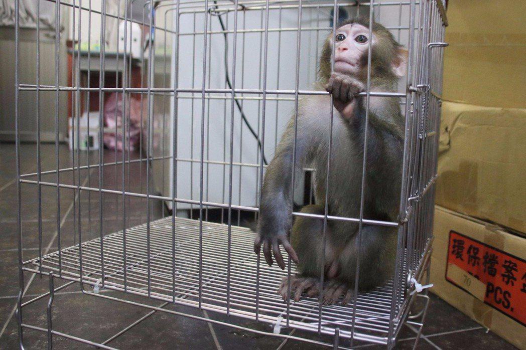 動保所指出,這隻保育類的台灣獼猴未滿1歲,不明原因和母猴走散,但已有自主生活能力...