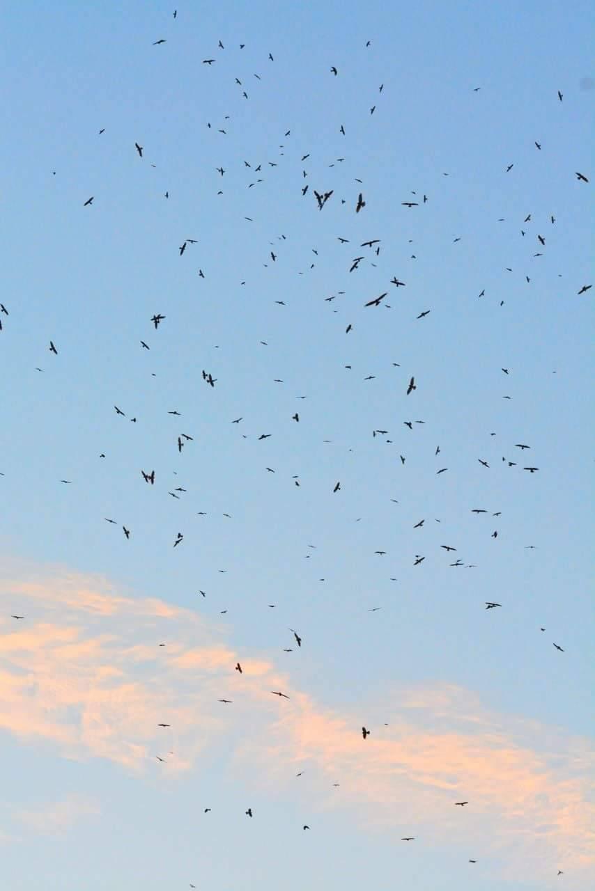 灰面鵟鷹過境,屏東滿州上空的國慶鳥景觀。圖/孫姓鳥友提供