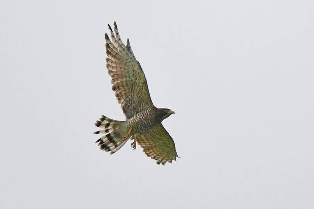 灰面鵟鷹過境,在墾丁國家公園上空盤旋飛翔。圖/孫姓鳥友提供