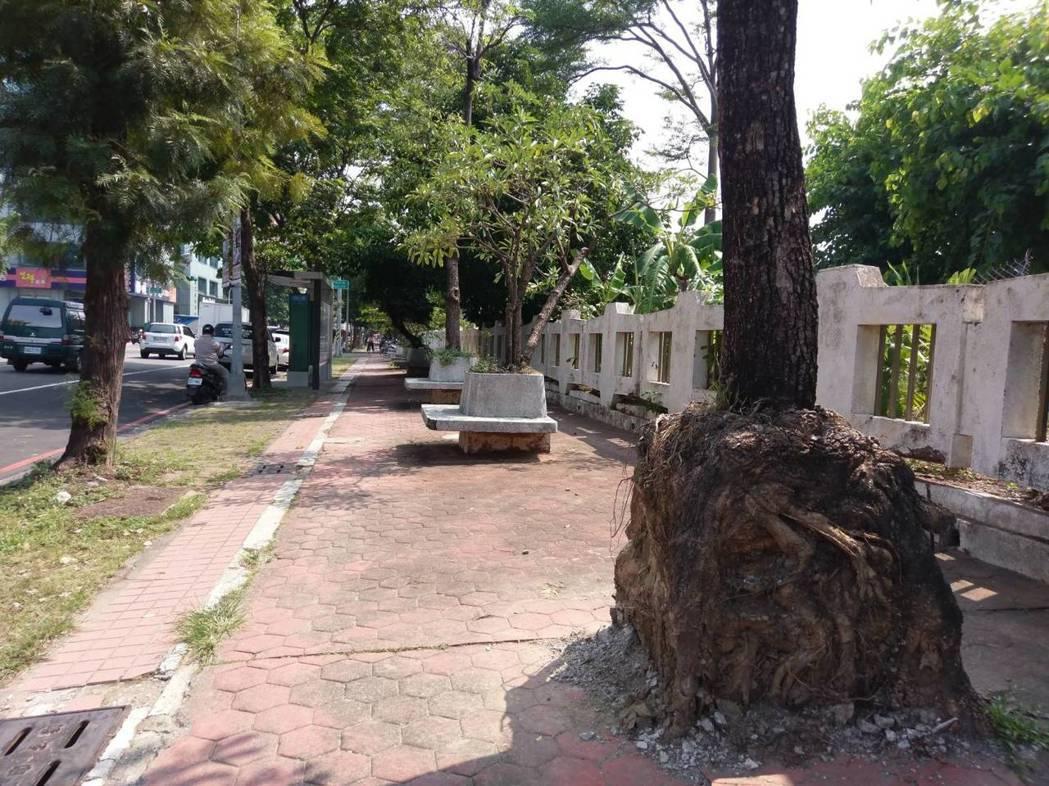 高雄市養工處乾脆打掉水泥檯,讓樹根「自由發展」,打掉後反而可看到樹根畸型的方形樣...