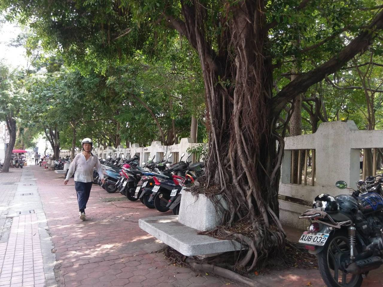 高雄市中正高工運動場旁一排菩提樹,早年不少是種在人行道上的水泥檯上,多年後,菩提...