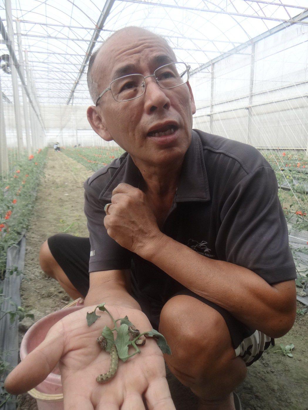 連密閉的溫室也淪陷,因有機作物不能噴藥,農民每天只能靠手工抓蟲,叫苦連天。記者蔡...