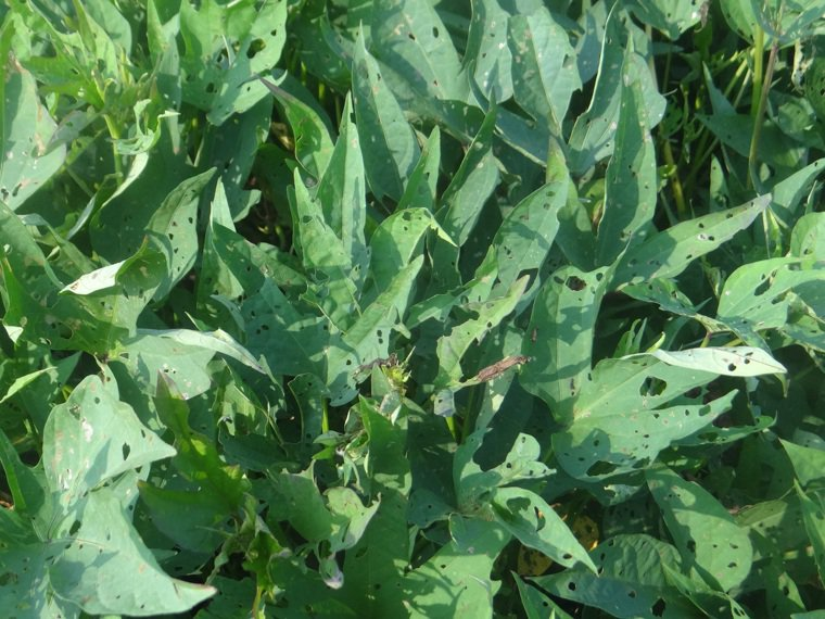 葉菜類蔬菜的鉀離子含量十分豐富,像是每100克的菠菜含有510毫克、莧菜含有50...
