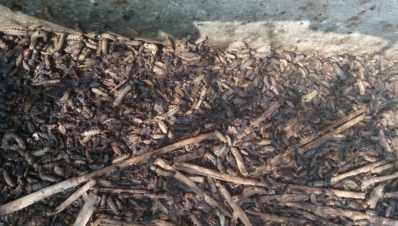 雲林農田裡的夜盜蟲萬蟲鑽動,太嚇人了。圖/雲林動植物防疫所提供