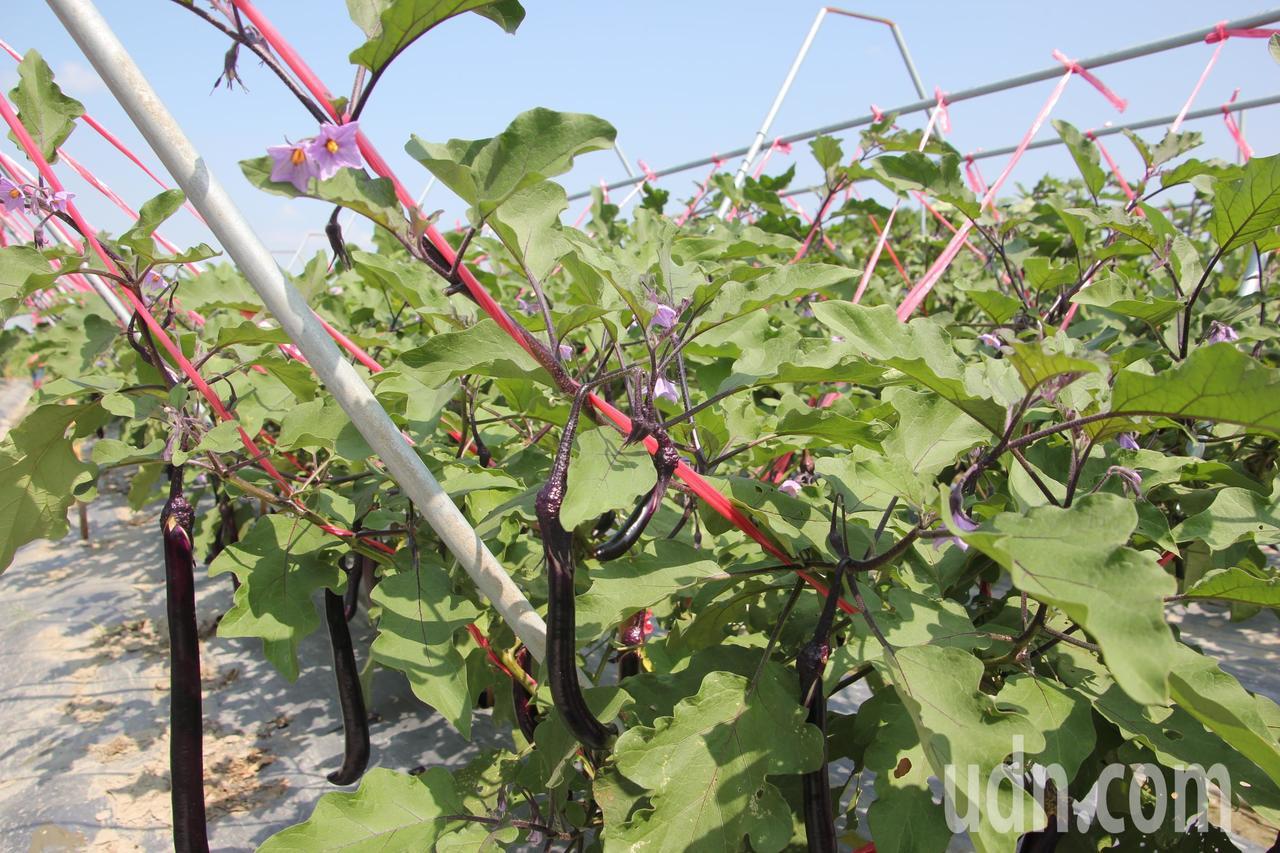 台中農改場將開放茄子隧道給大家拍照,紫色茄子花也很美。記者林宛諭/攝影