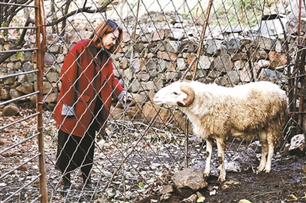 農莊裡有飼養綿羊,曉雨會在夏季幫家裡的羊剪毛。(取材自北京青年報)