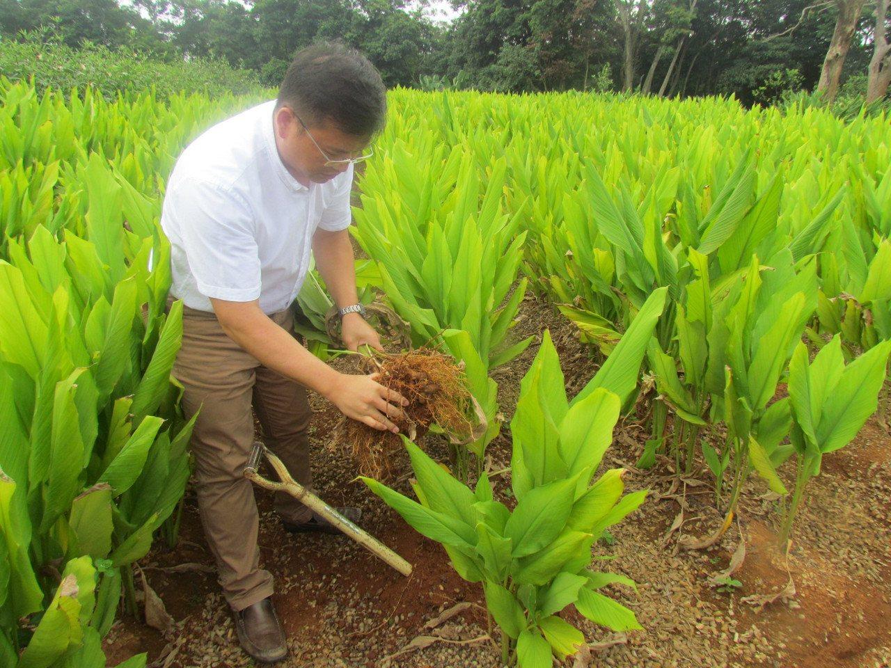 謝瑞裕到田間了解今年薑黃生長的情形。記者張家樂/攝影