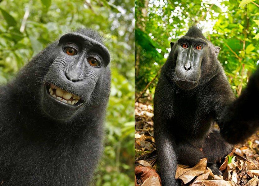 法院最終裁定黑冠獼猴不具人類情感,因此並非知曉自己進行「自拍」
