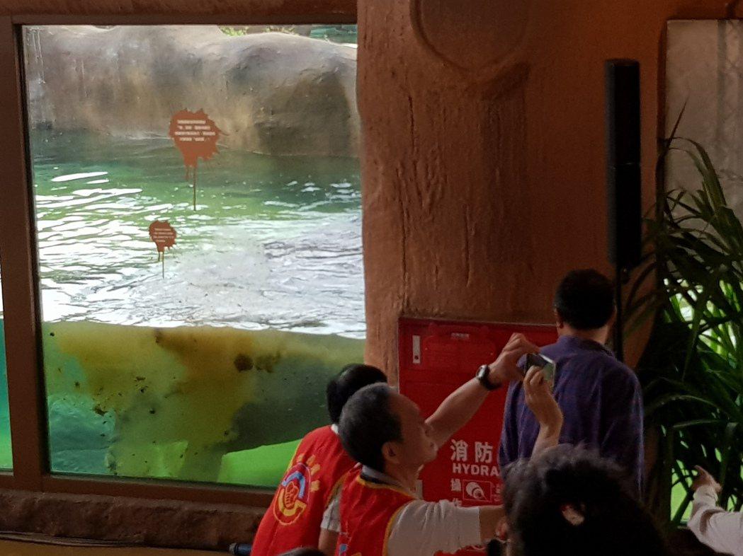 台北市長柯文哲為河馬浴場揭幕完才剛致詞,進入清澈水池中的河馬就立刻朝玻璃面「做記...