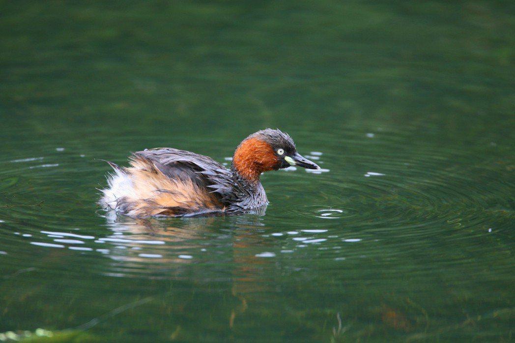 國際賞鳥博覽會於關渡自然公園登場,將有機會看到來台渡冬的水鳥。圖/動保處提供