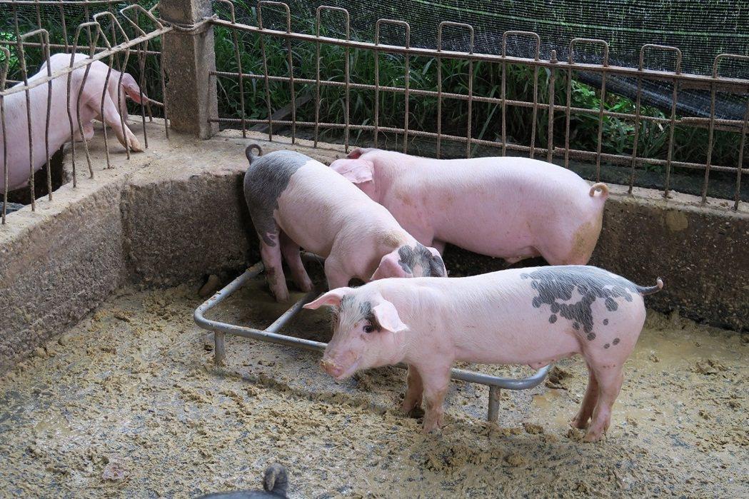 豬隻是日本腦炎病毒的主要宿主,台東李姓男子成為日本腦炎確診病例,成為台東縣7年來...