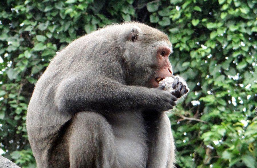 分配到芋頭的台灣獼猴,吃完後還會搜尋地上有沒有小碎塊,美味的程度讓遊客看了也嘴饞...