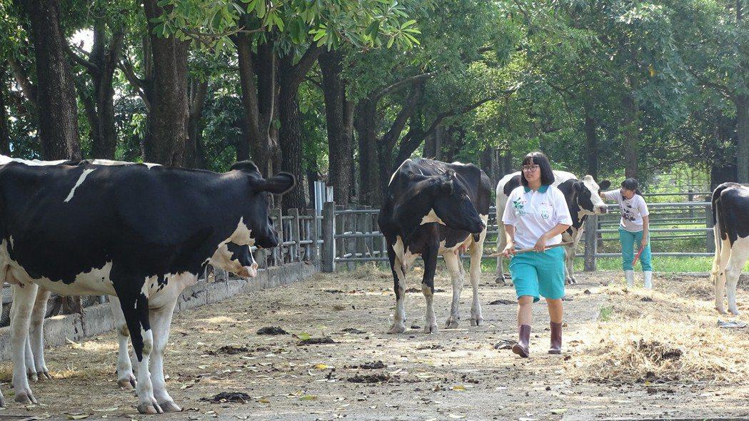 國立員林農工校園有實驗農場,每天生產保證安全衛生又香醇的鮮乳。記者何烱榮/攝影