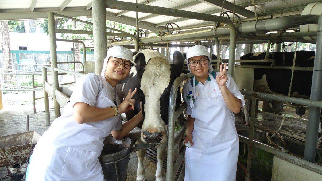 國立員林農工學生實驗農場養乳牛,家住社頭的陳宇璇(右)、趙瑞吟每天負責照顧乳牛和...