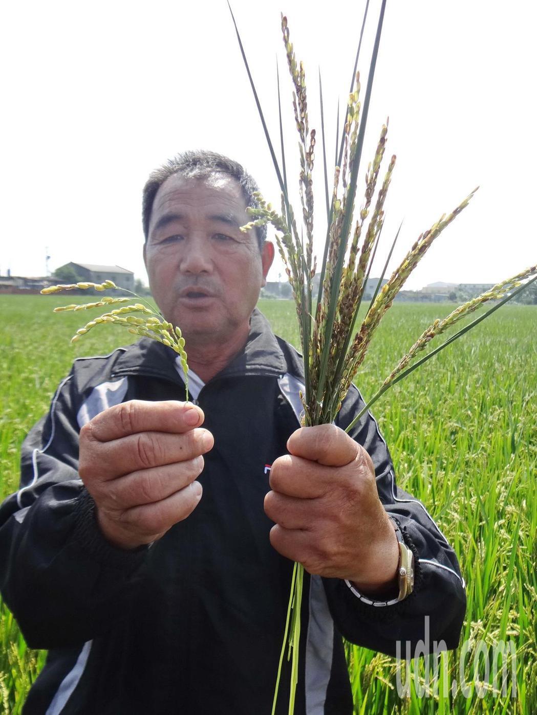 北港地區傳出稻作不明原因,稻穗變黑且光結穗不出漿,變成空包彈(右),發育正常的穗...