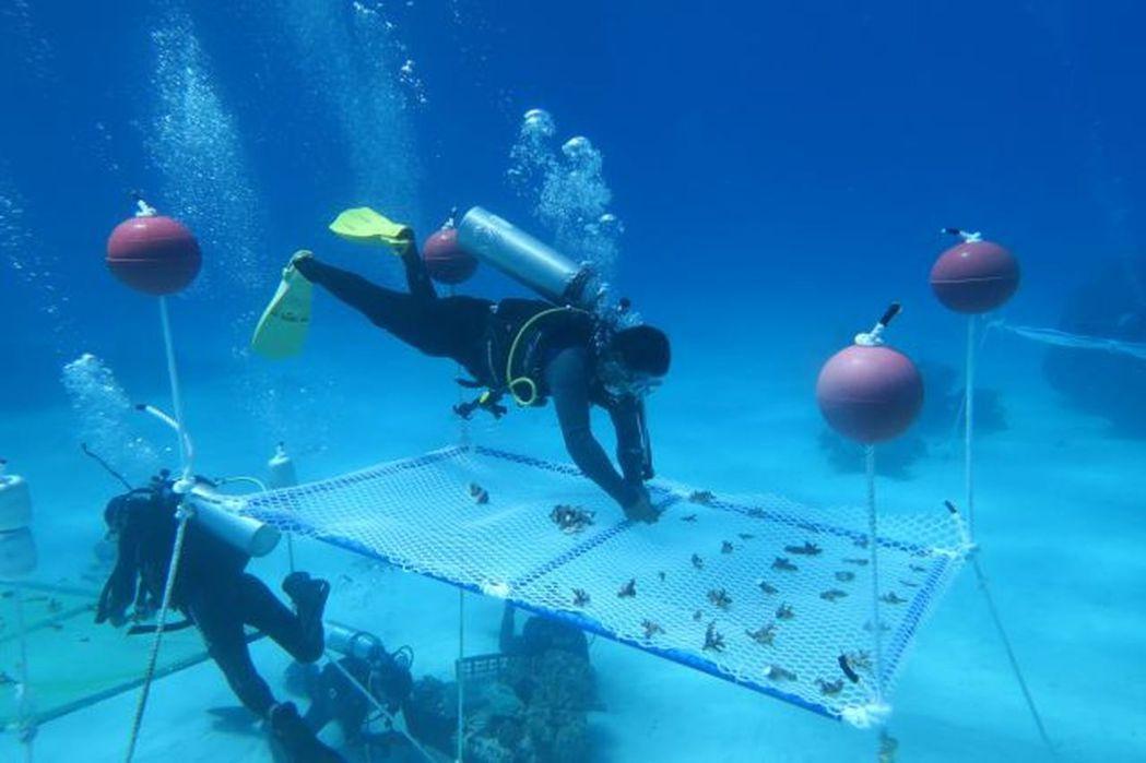 黃暉形容海底種植珊瑚的過程類似陸地上的植樹造林:首先培育幼苗,在苗圃中長成小樹,...