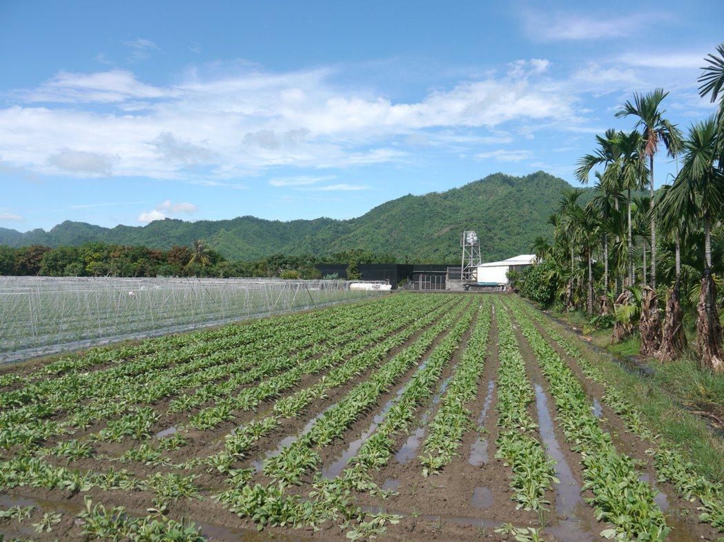 白玉蘿蔔成長期約40天,今年種植面積為230公頃。記者徐白櫻/攝影