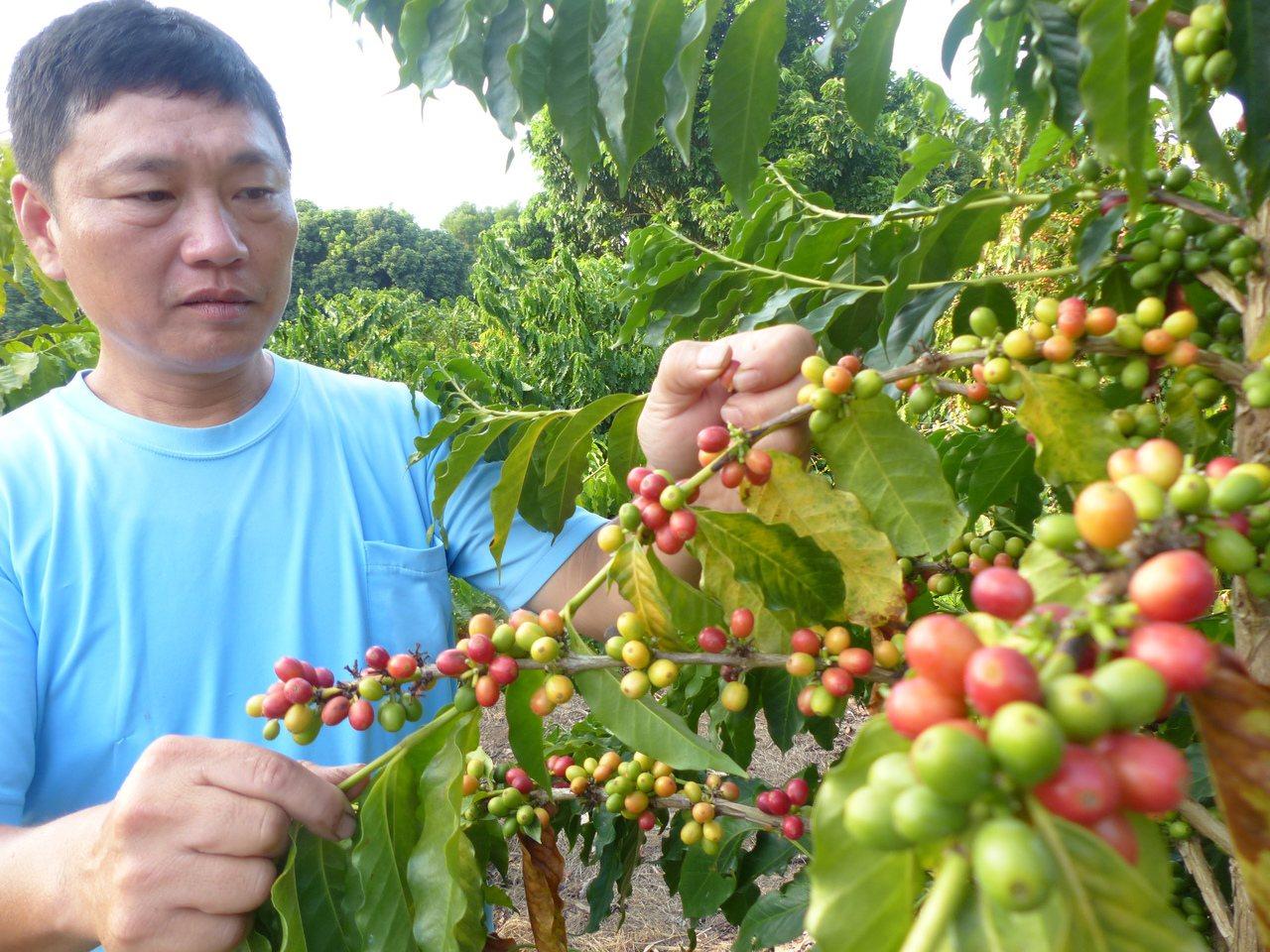 彰化八卦山咖啡種在荔枝、龍眼樹下,目前正值盛產,農民忙著採收。記者劉明岩/攝影