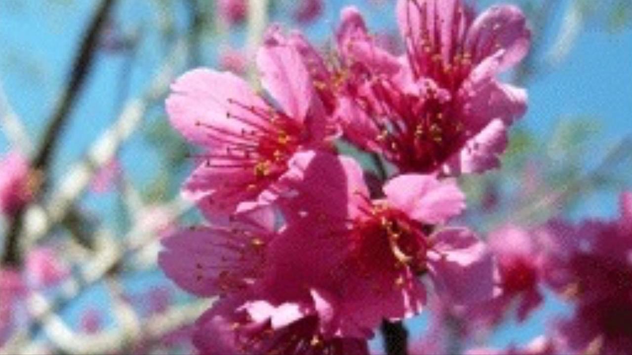 台中市花山櫻花。 圖/擷自台中政府農業局網站