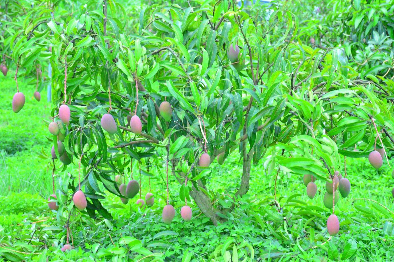 台南玉井地區芒果產季正逢颱風期,農政單位鼓勵農民保險。圖/報系資料照