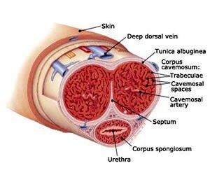 陰莖受損通常是外側包覆的白色薄膜,因沒有骨骼組織不會折斷。圖/林育緯醫師提供