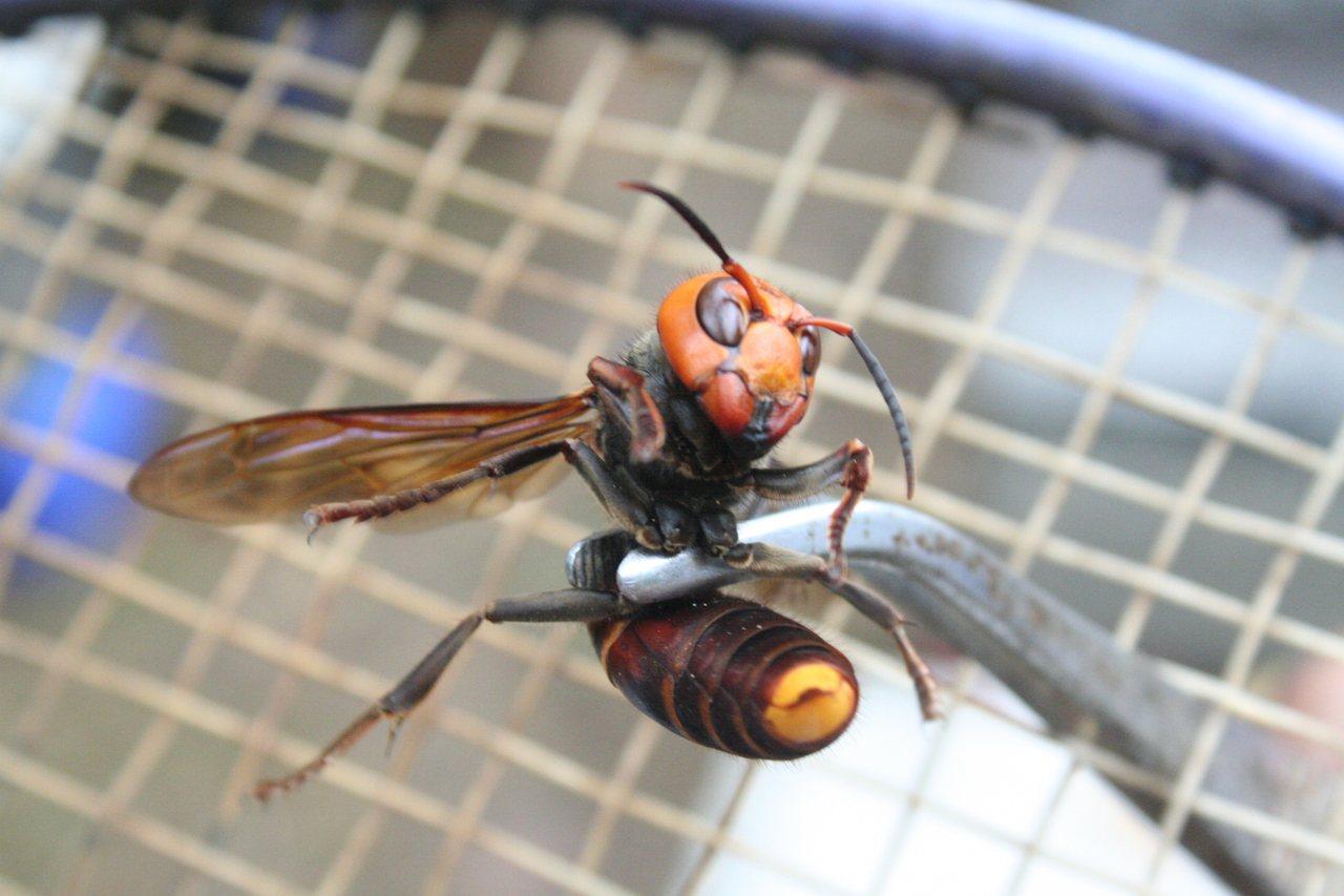 中華大虎頭蜂被養蜂人家視為蜜蜂的「頭號殺手」。圖/報系資料照