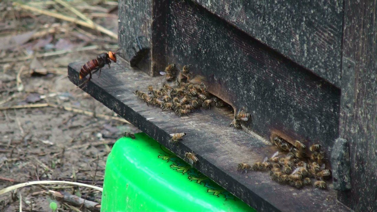 中華大虎頭蜂入侵蜜蜂蜂箱,大肆殘殺蜜蜂,幾小時就可讓整箱蜂都滅絕。圖/報系資料照