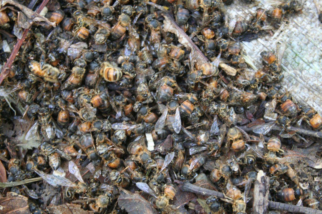 中華大虎頭蜂入侵蜜蜂蜂箱,大肆殘殺蜜蜂,幾小時就可讓整箱蜂都滅絕,蜂箱旁「屍橫遍...