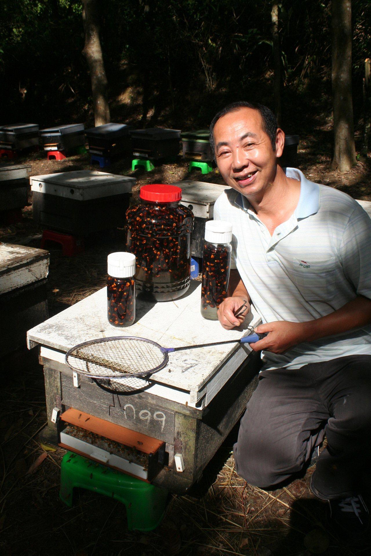 苗栗蜂農徐陳森在蜂箱旁用球拍捕捉虎頭蜂泡酒,減少損失。圖/報系資料照