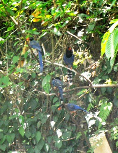 碇內小瀑布每天都有成群台灣藍鵲飛舞其間。 記者游明煌/攝影