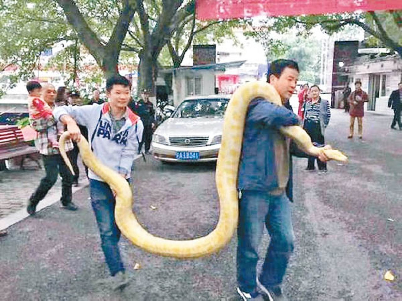重慶趙姓男子養了一條黃金蟒當寵物,未料,蟒蛇長得太大,超過四尺,不知如何是好,最...