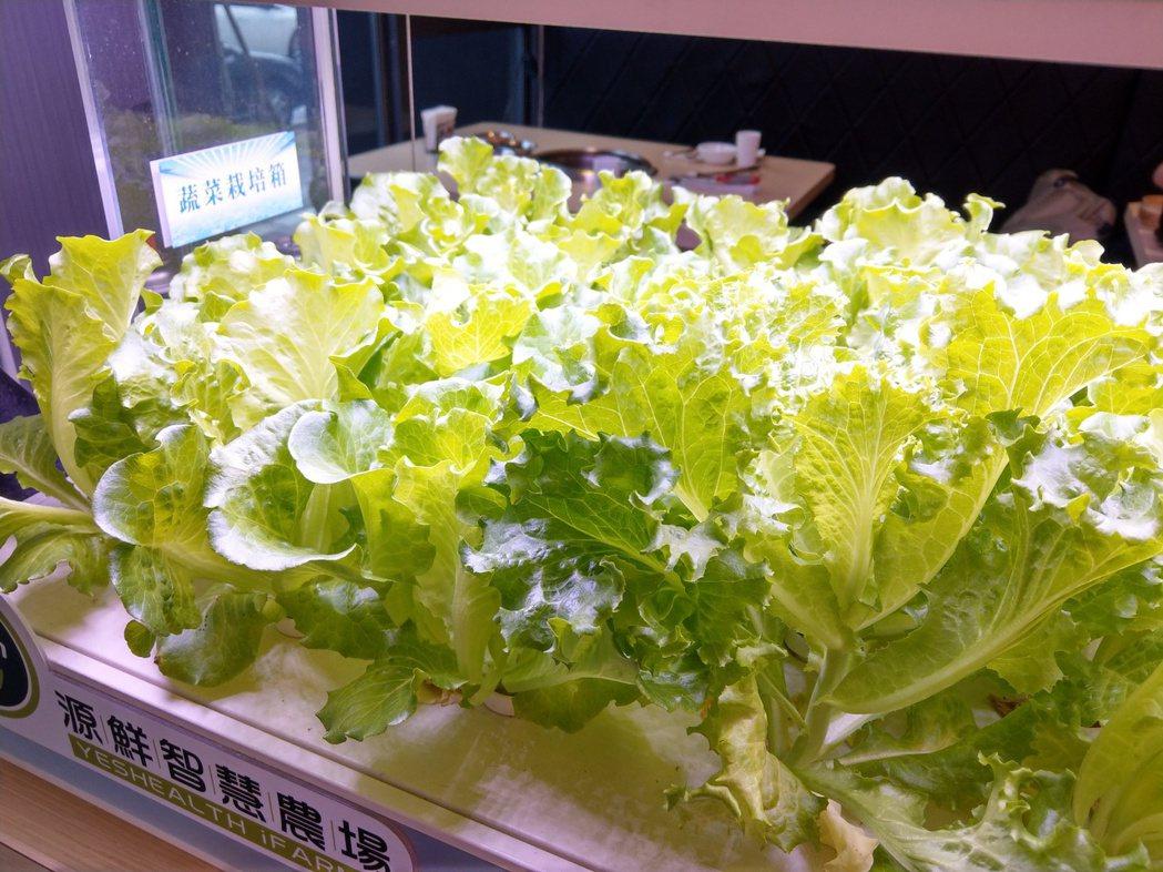 銅房採用沒灑農藥的水耕蔬菜,每株生菜都乾淨。 記者戴永華/攝影