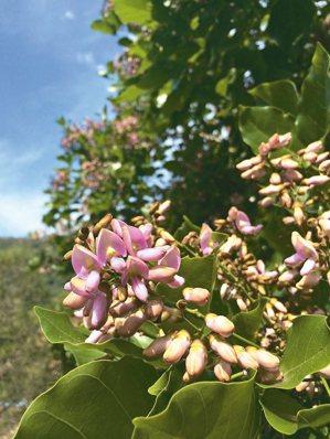 水黃皮綻開淡紫色小花。 圖/大地處提供