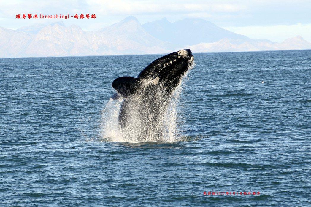 雄性動物經常靠搏鬥取得交配權,繁衍下一代;不過南露脊鯨,沒有這麼暴力;牠靠著50...