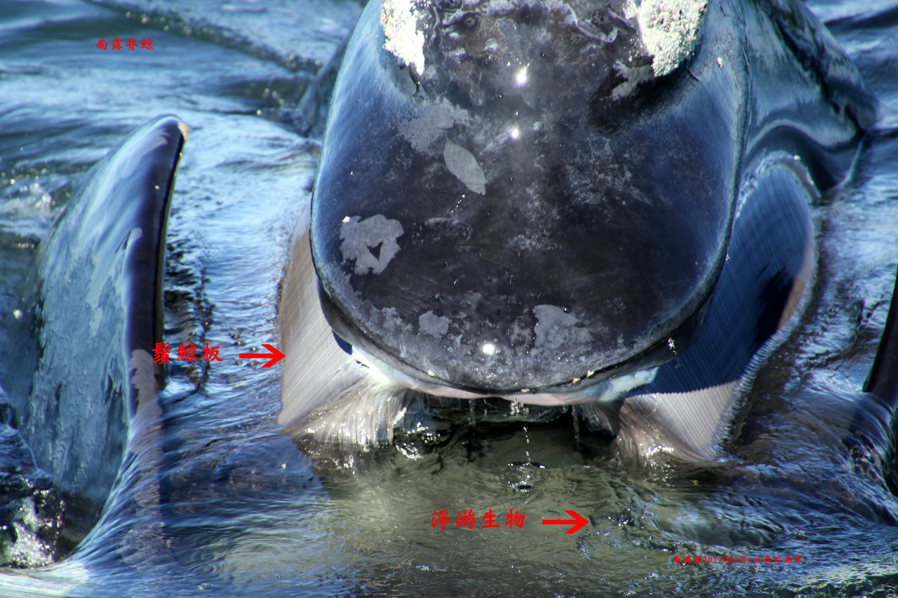 南露脊鯨靠著500公斤重睪丸,提升精子數量和品質,和不同雌性交配繁衍,身長18公...