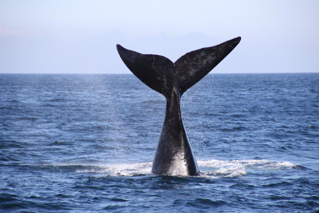 南露脊鯨靠著500公斤重睪丸,提升精子數量和品質,和不同雌性交配繁衍,牠有一個特...