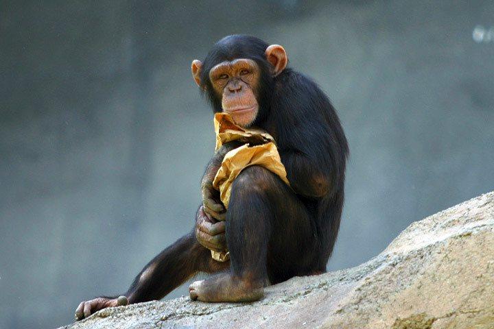 小學堂第二節課,讓我們來認識跟人類基因很親近的黑猩猩。(圖片來源:台灣動物平權促...