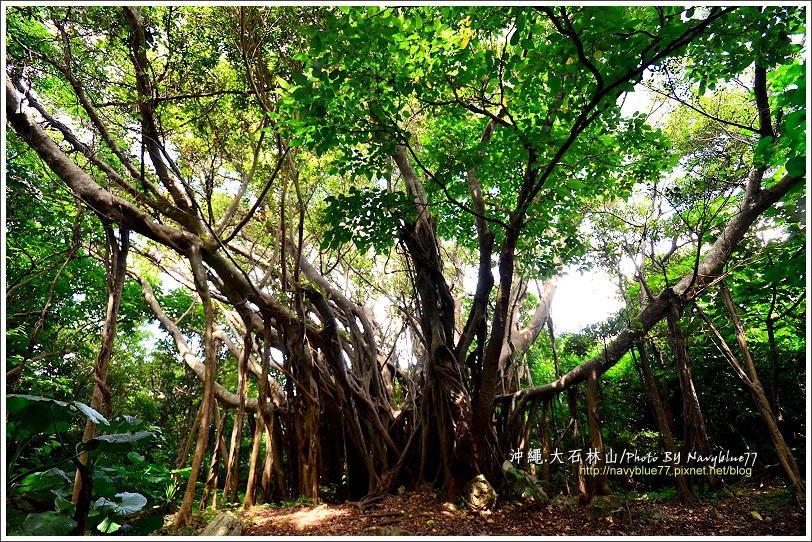 ↑這一大棵榕樹很壯觀,不過不如澎湖的通樑古榕或新社的五福神榕。