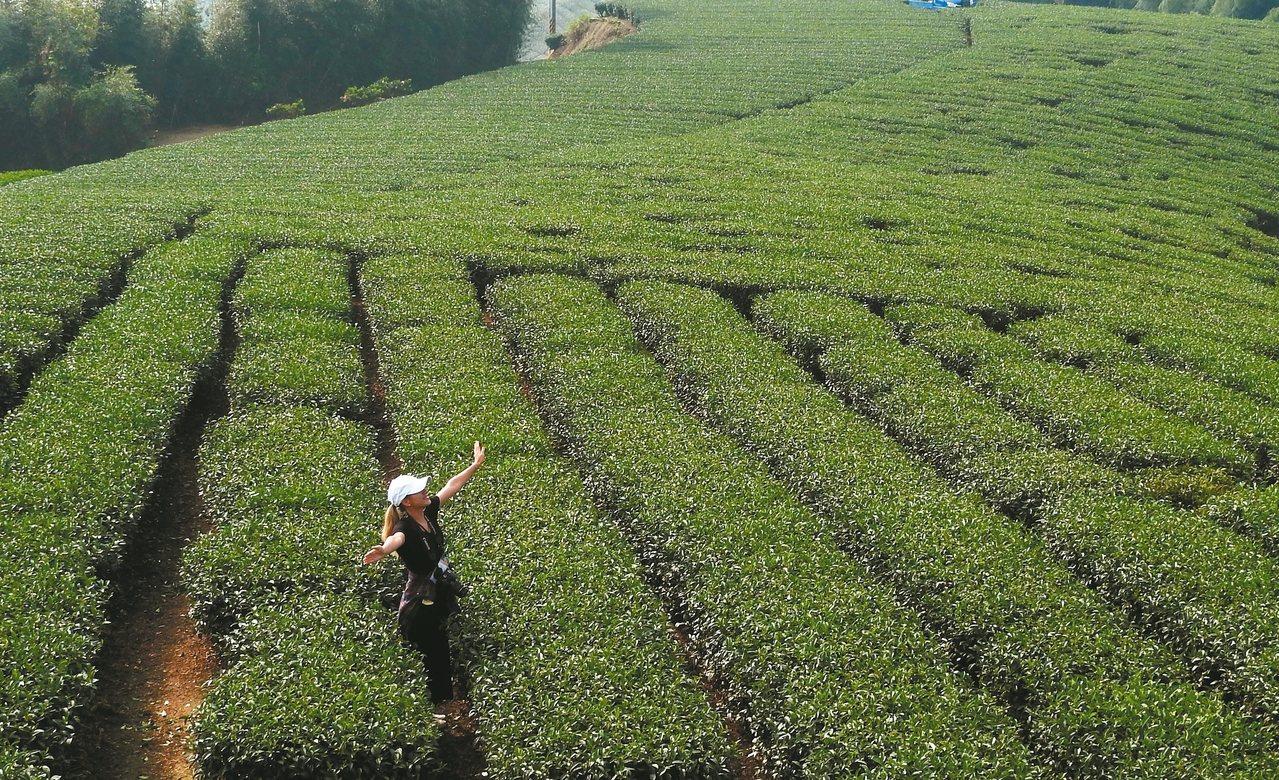 1314觀景台旁是綿延不絕的茶園,也是拍照打卡的最佳景點。 記者魏妤庭/攝影