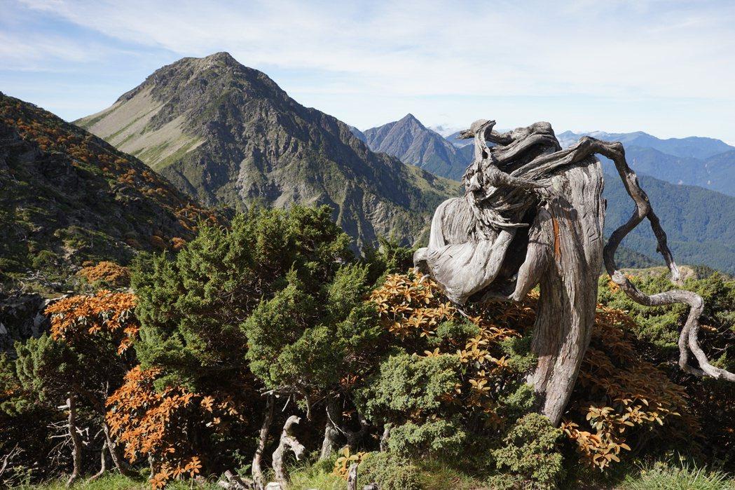 五岩峰的玉山圓柏龍頭。記者邱德祥/攝影
