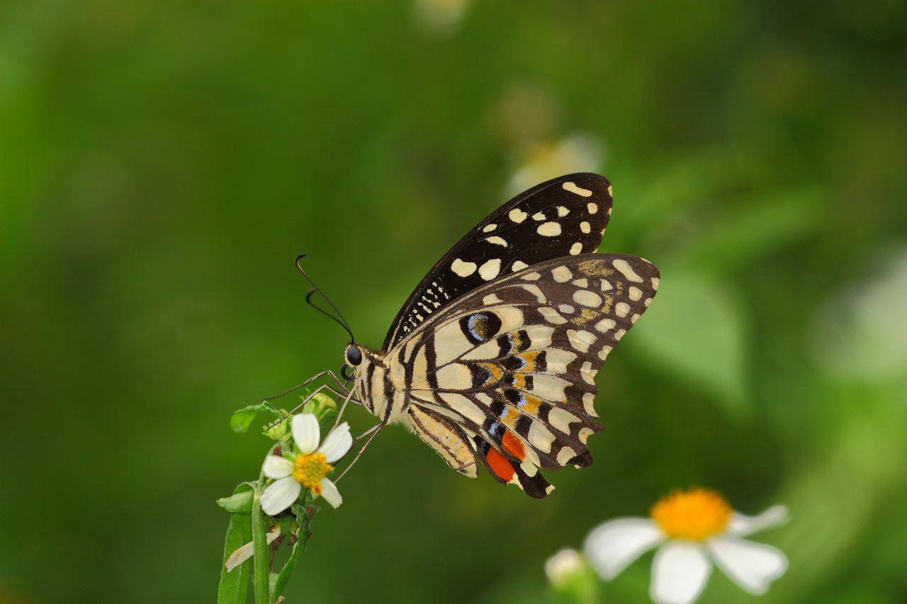 園區內的花鳳蝶。圖/林葆琛攝,摘自台北市大地工程處官網