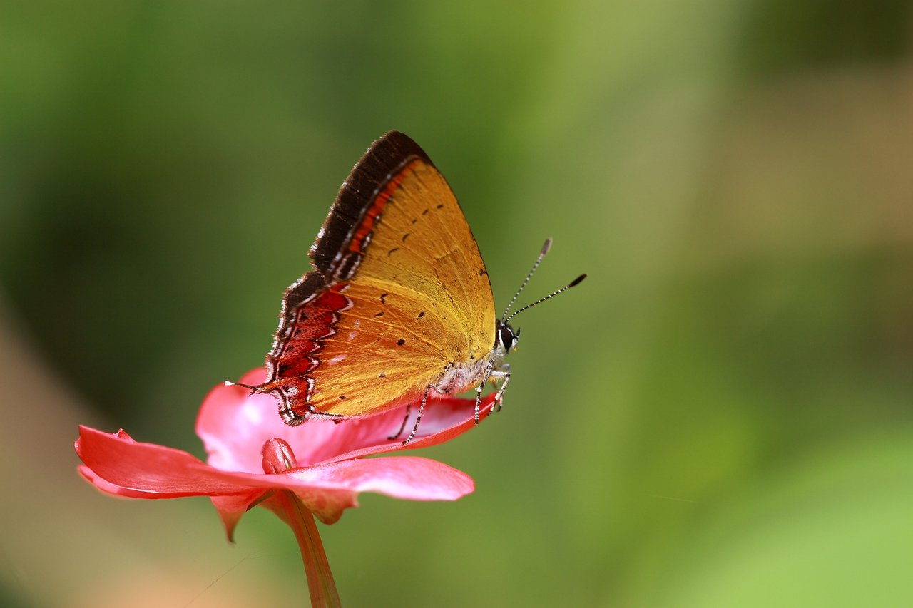 紫日灰蝶。圖/吳善恩攝,摘自台北市大地工程處官網
