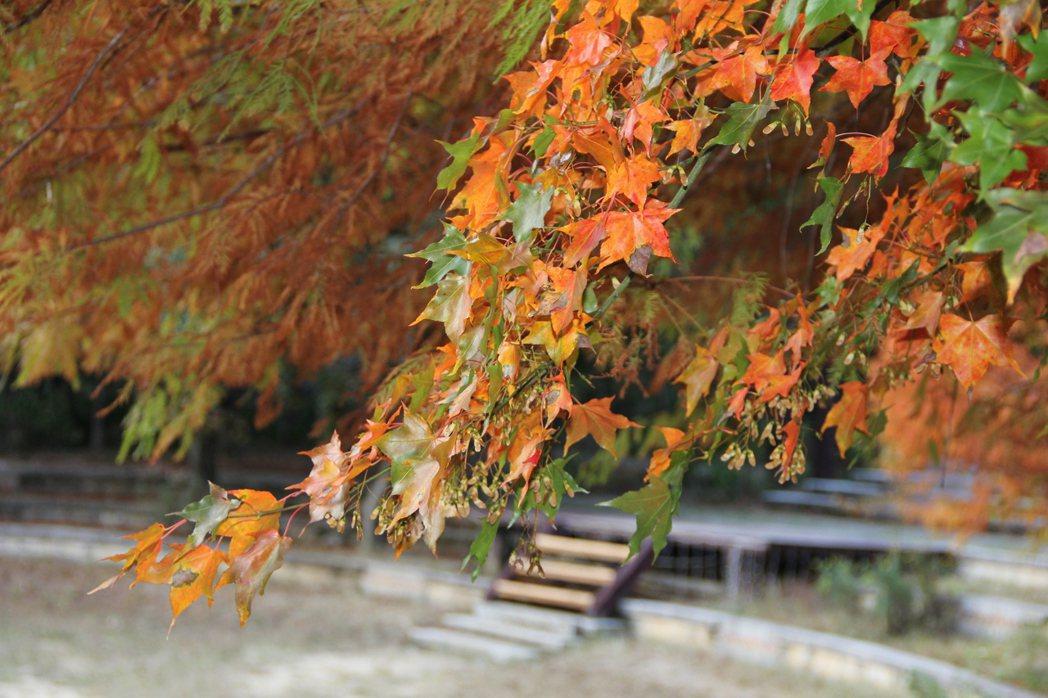 台中武陵農場是賞楓熱門景點。圖/武陵農場提供