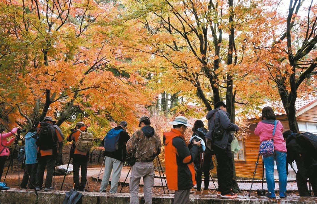 福壽山農場楓葉吸引遊客拍照欣賞。記者洪敬浤/攝影