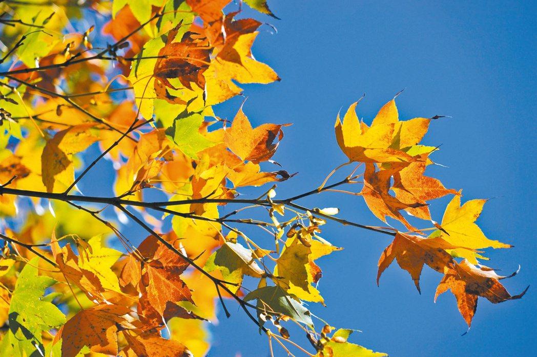 福壽山農場松廬的掌葉楓是賞楓熱點。記者洪敬浤/攝影