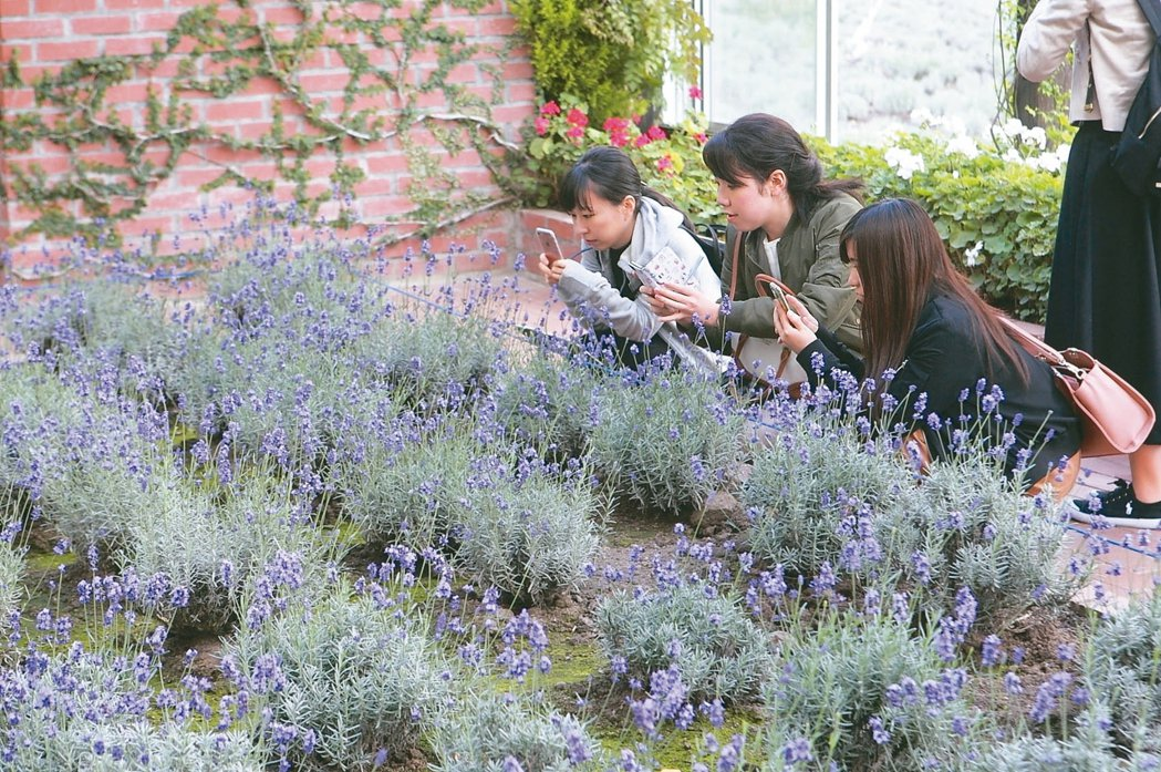富田農場溫室內栽種有薰衣草,就算冬天也可讓旅客欣賞。 記者陳睿中/攝影
