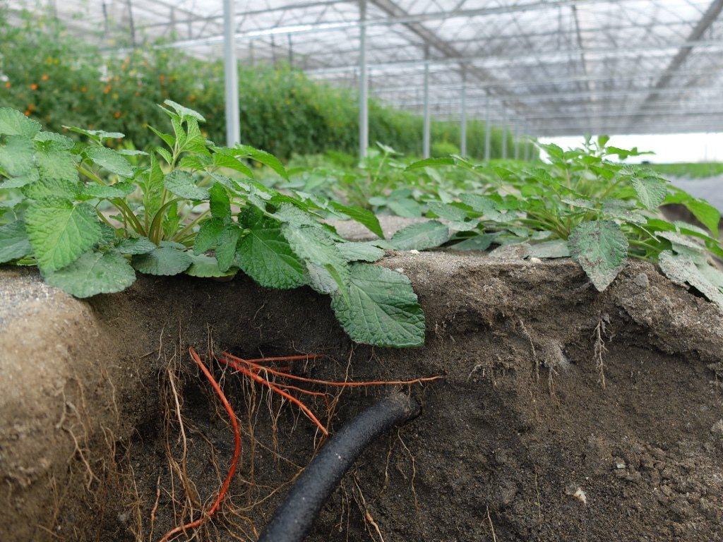 台灣蓋婭社會企業研發出全球唯一仿生地下灌溉系統,建立抗颱溫室設施,不用農藥、不施...