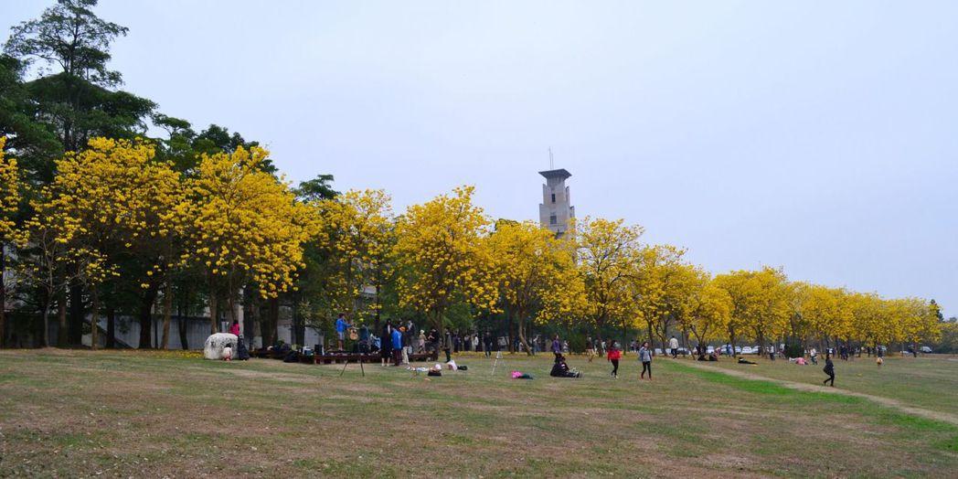 中正大學諸羅藝文道黃花風鈴木盛開情形。圖/湯雅婷提供