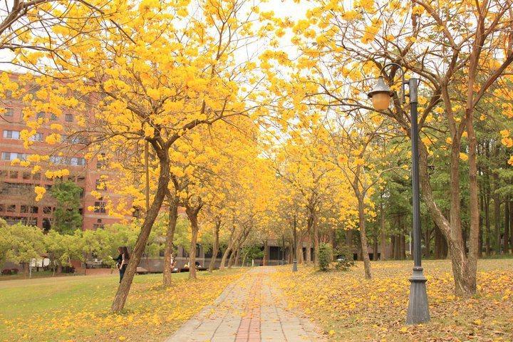 中正大學諸羅藝文道黃花風鈴木盛開情形。圖/阮齡萱提供